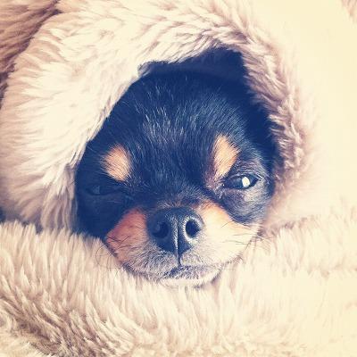 毛布にくるまったチワワのおはぎ